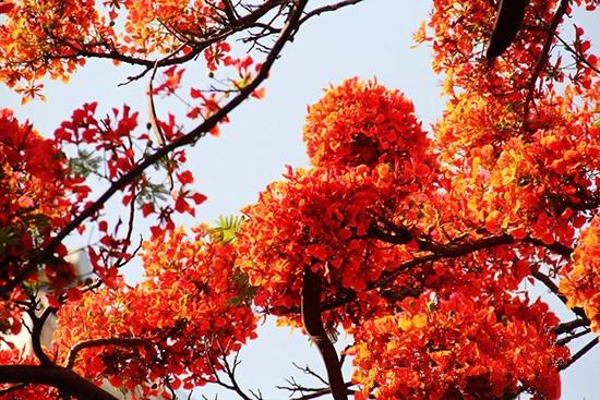 背景 壁纸 枫叶 红枫 绿色 绿叶 树 树叶 植物 桌面 550_367